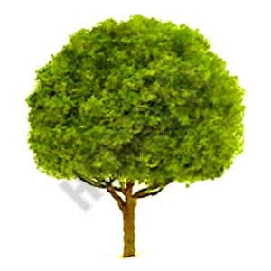 Oak 25mm