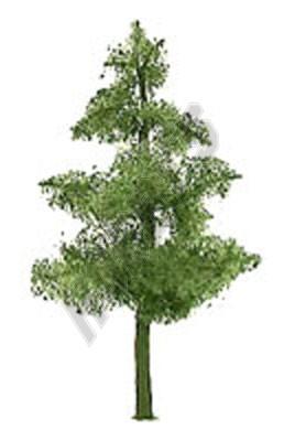 Pine 38mm