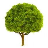 Oak 12mm