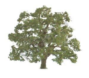 Live Oak 19mm