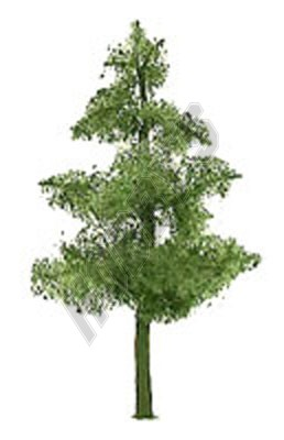 Pine 25mm