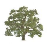 Live Oak 25mm
